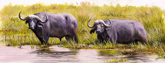cape-buffalo-3-copy1